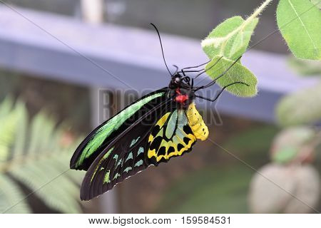 A beautiful male Cairns Birdwing Butterfly (Ornithoptera euphorion) sitting on a leaf