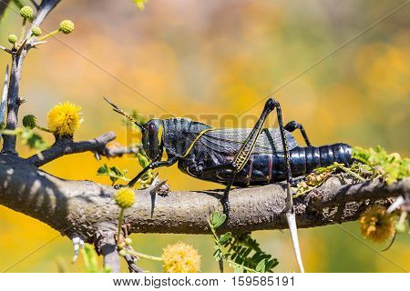 The western horse lubber grasshopper is a relatively large insect of the species  found in the arid lower Sonoran life zone of the southwestern United States and  Mexico.