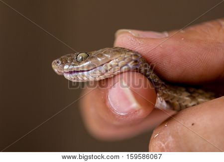 Snake handling is a skill learnt  by firstly getting used to handling a very wide variety of nonvenomous snakes.