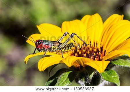 Bright green and rainbow painted grasshoppers are found in abundance in the grasslands of Mexico. They are also collected and  are commonly eaten in certain areas of Mexico.