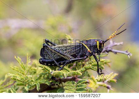 The western horse lubber is a relatively large species of the grasshopper  family found in the arid lower Sonoran life zone of the southwestern United States and  Mexico.