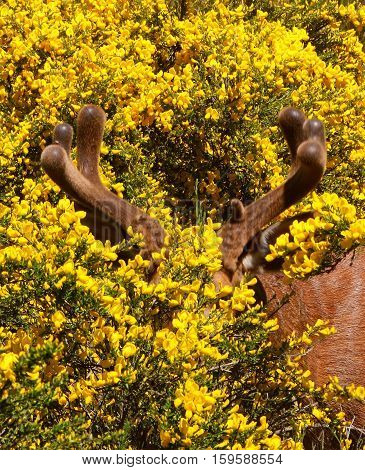 Giant stag lurks behind brilliant yellow blooms in the woods.