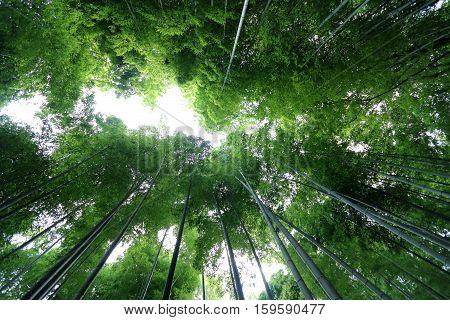 Arashiyama Bamboo grove in Saga-Arashiyama area Kyoto Japan
