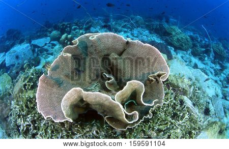 Perfect lettuce hard coral on coral reefs in good visibility at Koh Sak Pattaya Rayong Gulf of Thailand