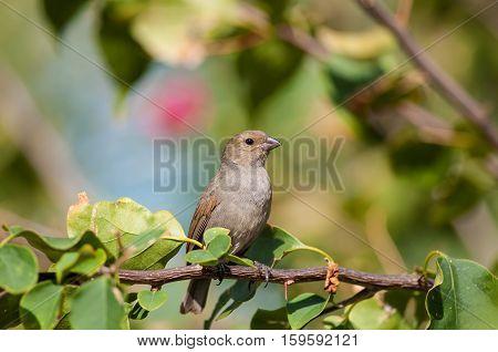 Lesser Antillean bullfinch perched on a branch in Antigua