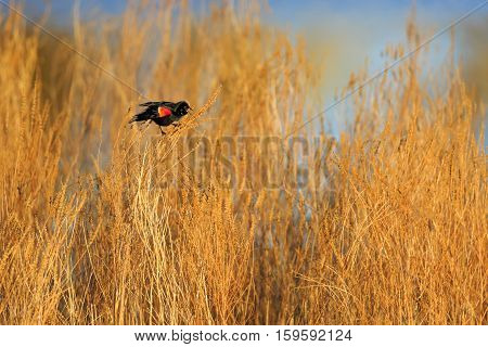 Red-winged Blackbird (Agelaius phoeniceus) singing for a female during the spring.