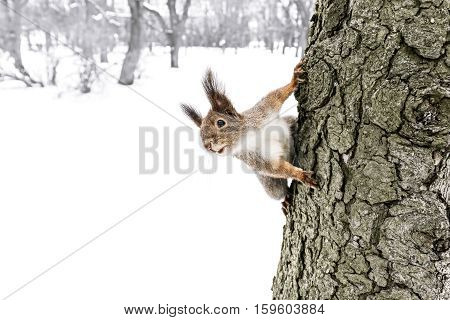 Cute Little Red Squirrel Sitting On Tree Trunk In Winter Forest