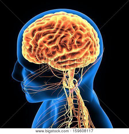 3d illustration human body brain .human body part.