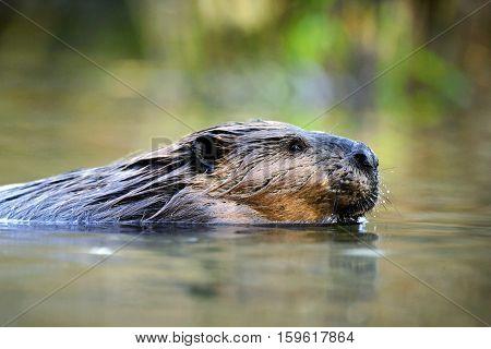 Beaver large adult swimming in pond portrait closeup British Columbia Canada