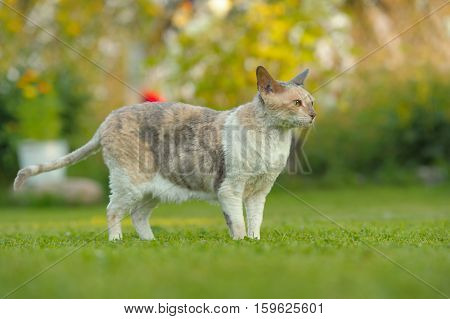 Cornish Rex Cat Outdoors On Green Lawn In Summer