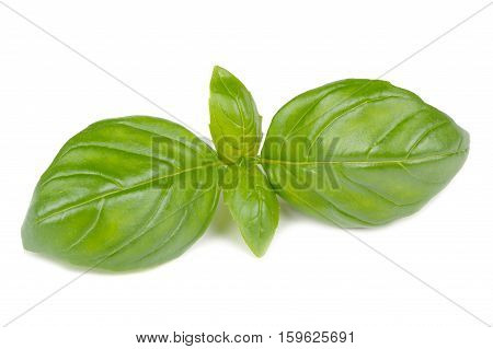 A branch of fresh green basil isolated on a white background