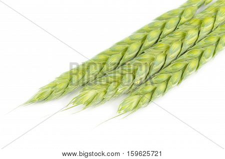 Green ears of wheat close-up against a white background