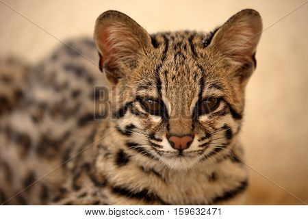 Tiger cat or ocelot cat from Brazil