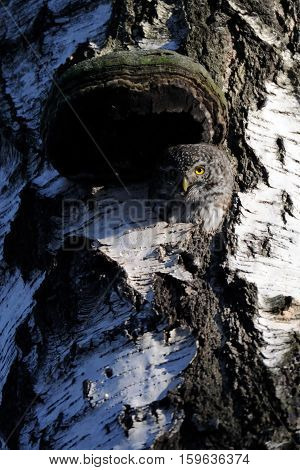 Pygmy Owl (Glaucidium passerinum) in the hollow of birch tree. Moscow Russia