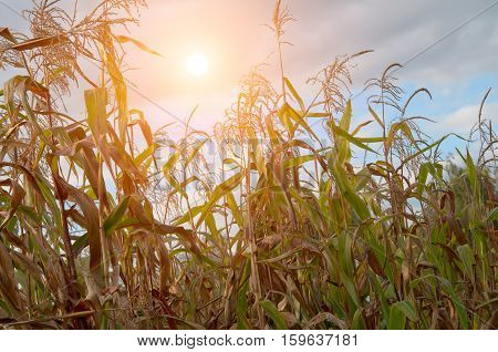agricultural field with corn. A close up