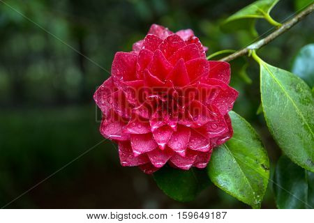 Bright red camellia flower in full bloom with water drops
