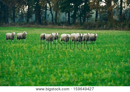 Herd Of Sheep Walking In Field. Exel. Gelderland. The Netherlands.