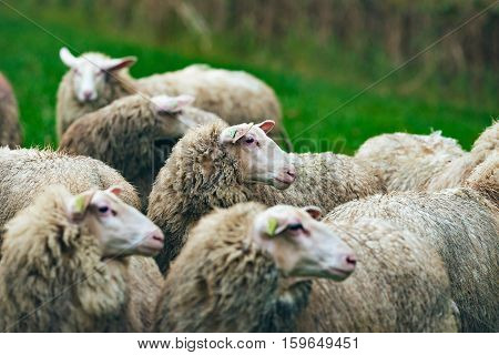 Close-up Side View Of Heads Of Sheep In Field.