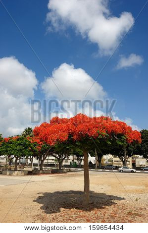 Tree with the bright flowers in Israel - Delonix regia