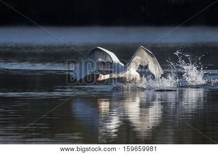 Mute Swan (Cygnus Olor) taking off into flight from a lake