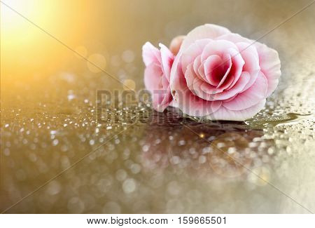 Pink rose Valentines day card with copy space