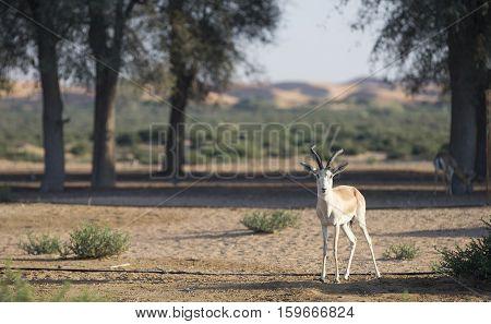 Sand gazelle (gazella subgutturosa) in a desert near Dubai