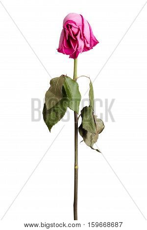 Wither pink rose on a white background