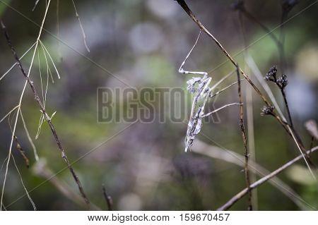 Empusa pennata praying mantis in the middle of vegetation in nature
