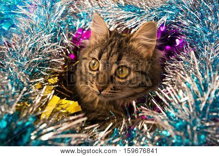 Beautiful Cat Looking Out Tinsel.