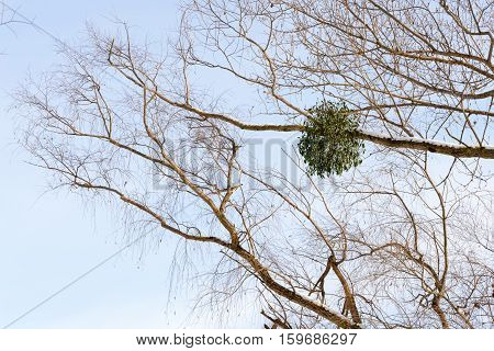 Viscum album or mistletoe is a hemiparasite on several species of trees it has a significant role in European mythology legends and customs