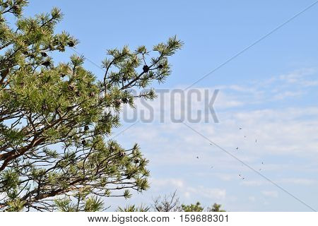 Fresh pine tree branches with pine cones at springtime.