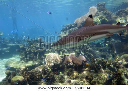 Sharkcoral