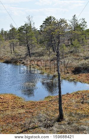 Dry tree in a swamp at springtime.