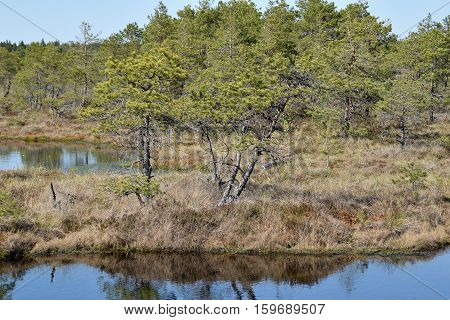 Pine trees growing near waters in a swamp.