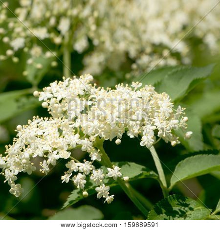 Blossoming elder flower- shallow deep of field Latin name is sambucus nigra. Medicinal herbs in alternative and traditional medicine. Harvested in May and June dried in a windy place and used in tea to treat bronchitis coughs upper respiratory infections
