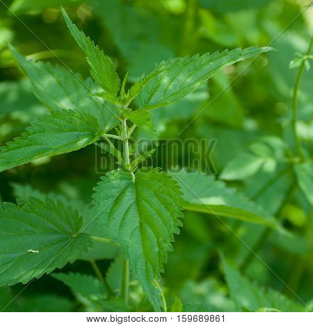 Leaves of nettles - close up.Very medical plant. Nettle is harvested from June to September and used to leaves and root. It is used for purifying the blood and increase the excretion of fluids from the body Botanical name is Urtica dioica