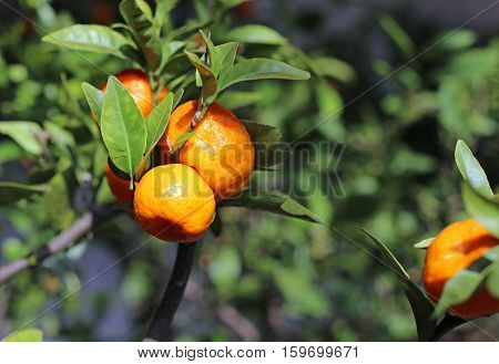 Ripe Orange Clementines In A Lush Orchard
