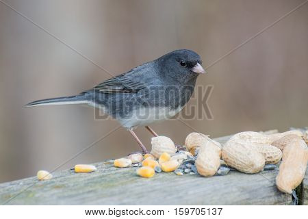 Slate-colored Junco perched with bird seed and peanuts.