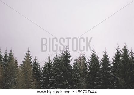 Christmas tree tops silhouetted and space for copy