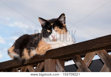 Calico cat resting on top of wooden railing, looking at the viewer