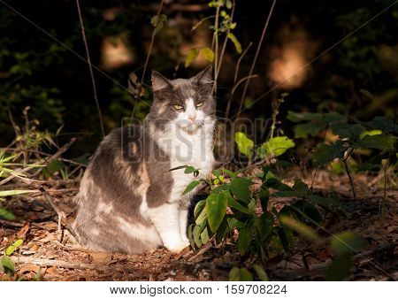 Beautiful diluted calico cat sitting in a beam of light in a dark forest