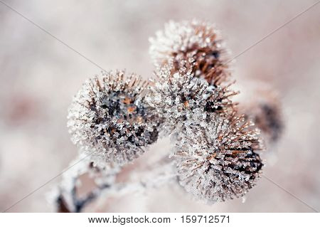 dry prickly burdock flowers covered in glistening cold ice