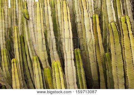 Flora Of Gran Canaria - Euphorbia Canariensis