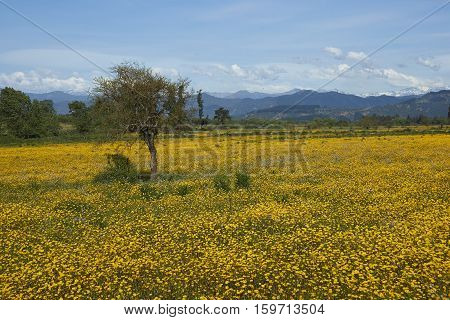 Colourful field of yellow flowers in a rural close to the Andes Mountains in the region of Maule in Chile.