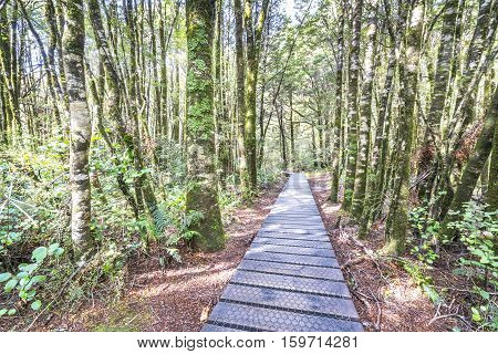 Wooden walkway in the rain forest. Sinking in mossy trees and numerous ferns. Haast West Coast New Zealand