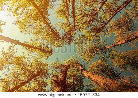Canopy Of Tall Pine Trees. Upper view Branches Of Woods with warm light in the morning vintage style.
