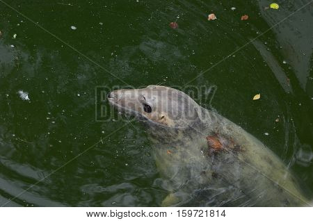 Seal in water in swimming pool in Warsaw zoo