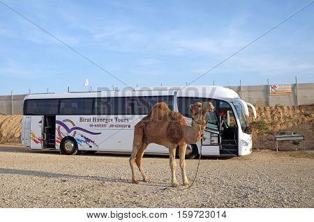TARABIN ISRAEL - NOVEMBER 09 2016: Camel on the background of a tourist bus in the bedouin settlement Tarabin