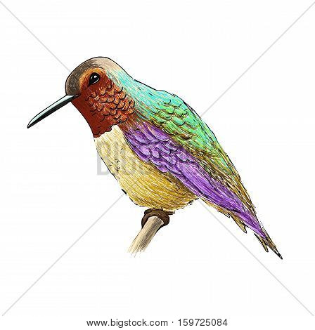 Hummingbird with colourful glossy plumage. Colorful bird illustration on white background. Vector drawing of colibri for greeting cards, invitations, prints, web projects. Bright and vivid colors.