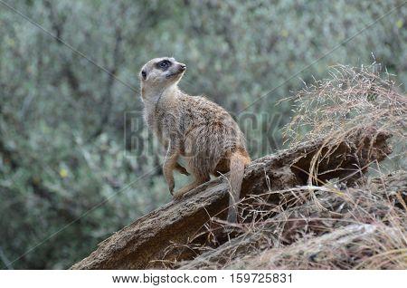 Wild meerkat guarding his encampment, he is sentry duty